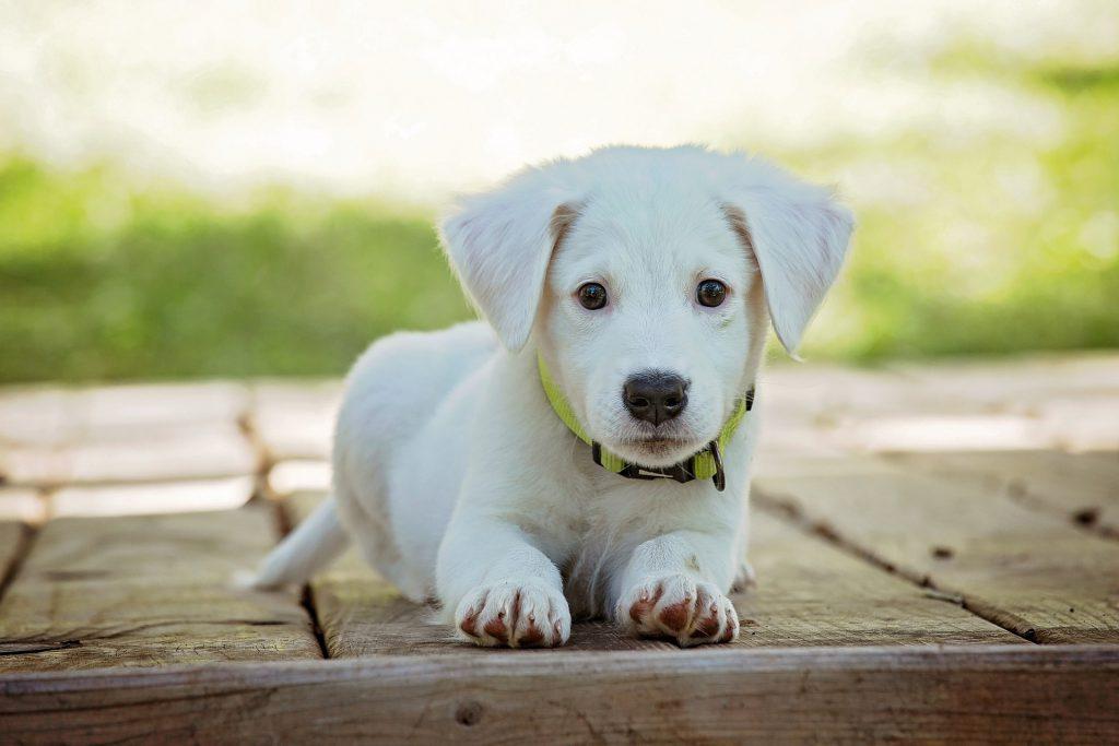 Deze afbeelding heeft een leeg alt-attribuut; de bestandsnaam is puppy-1903313_1920-1024x683.jpg